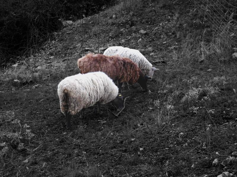Ovce na Zlatém koni
