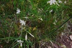Bělozářka liliovitá